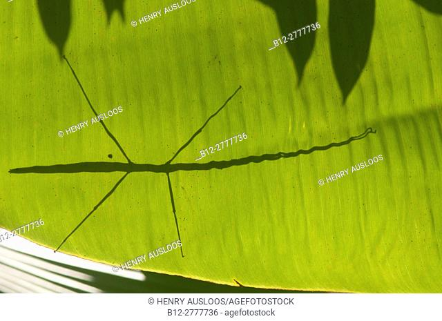 Stick insect (Baculum thaii), female, silhouette; Thailand