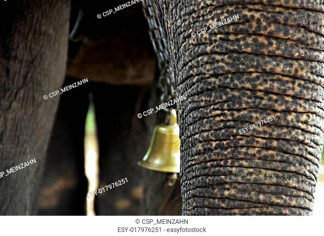 tusk of indian elefant in the camp
