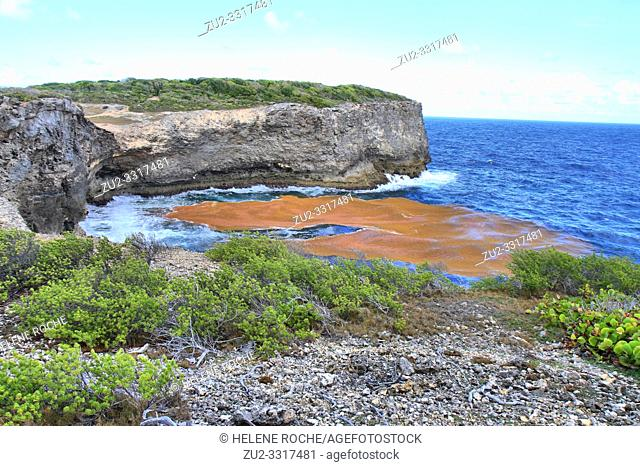 Lines of sargassum stretch for miles along the ocean surface, Anse Bertrand, Guadeloupe, Caribbean islands, France