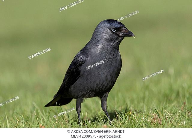 Jackdaw - adult foraging - Germany