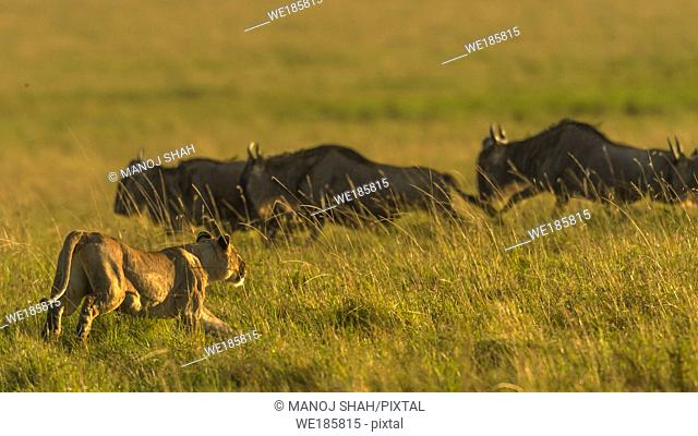 When her target is sighted, the lioness runs towards the line of migrating wildebeests. Masai Mara National Reserve, Kenya