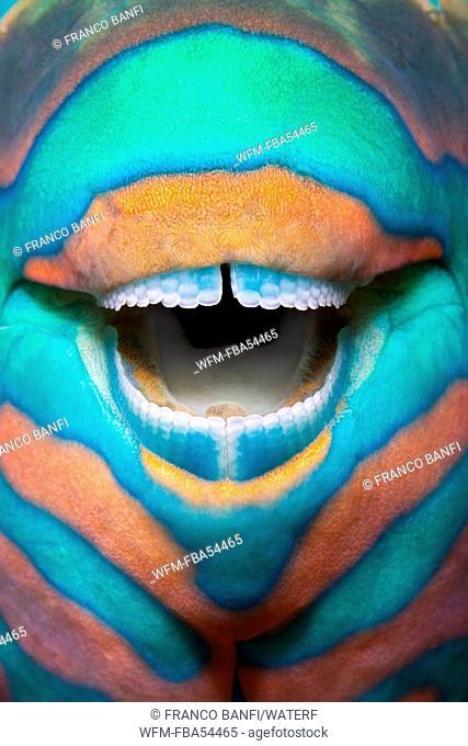 Teeth of Bridled Parrotfish, Scarus frenatus, Ari Atoll, Maldives