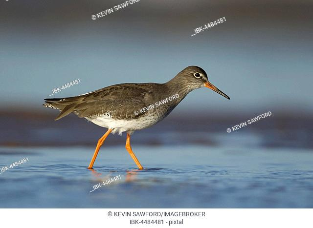 Redshank (Tringa totanus), adult in a shallow water, Norfolk, England, United Kingdom