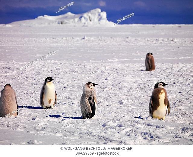 Emperor Penguins (Aptenodytes forsteri) at Cape Washington, Antarctic