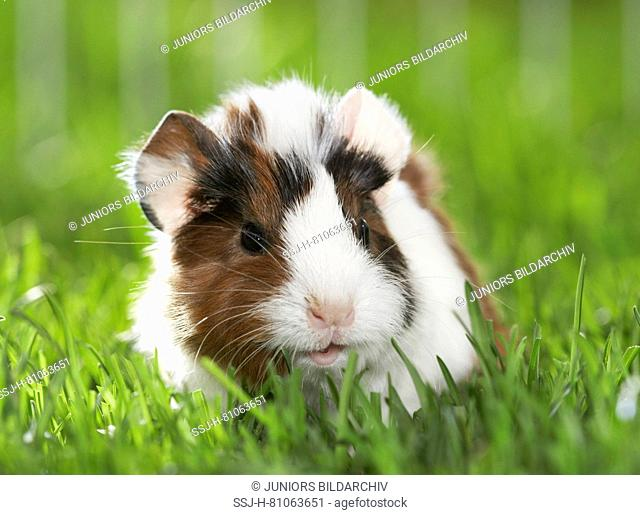 Abyssinian Guinea Pig, Cavie. Young (11 days old) in grass. Germany
