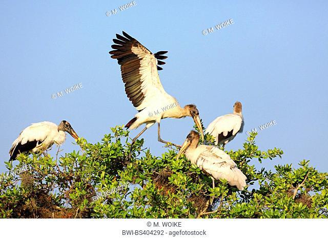 American wood ibis (Mycteria americana), American wood ibis lands in a group on a tree, USA, Florida, Merritt Island