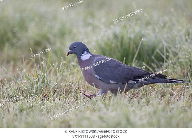 Wood Pigeon / Ringeltaube (Columba palumbus) on the ground, aelking through dew wet grass searching for food, early in the morning