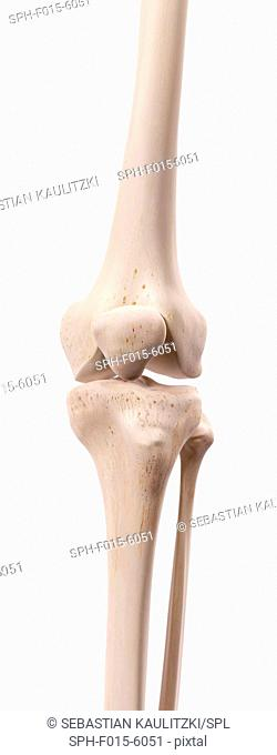 Human knee bones, illustration