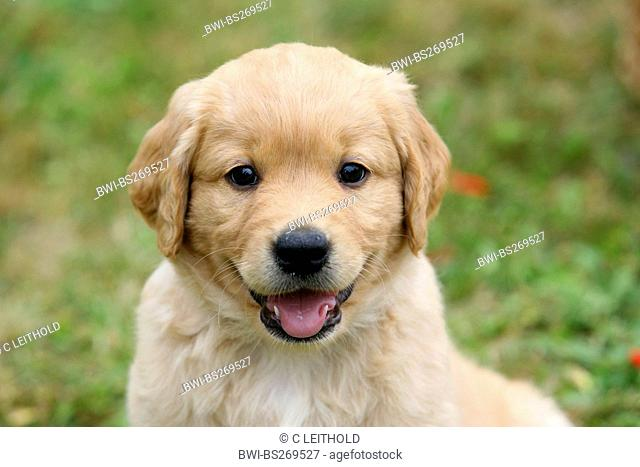 mixed breed dog Canis lupus f. familiaris, Labrador mix, puppy sitting on a meadow