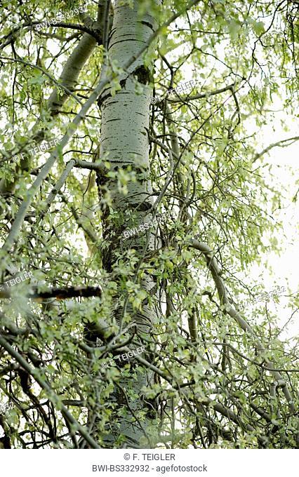 white poplar, silver-leaved poplar, abele (Populus alba), trunk, Germany