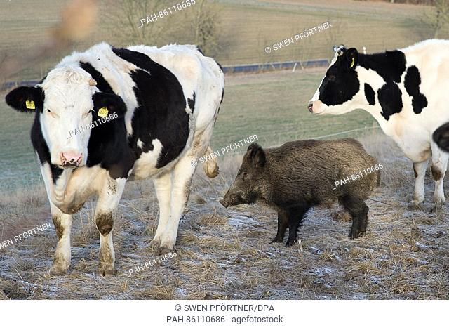 Johann the boar standing among cattle in a field in in Meensen, Germany, 30 November 2016. The boar disappeared for several months after joining a herd of...