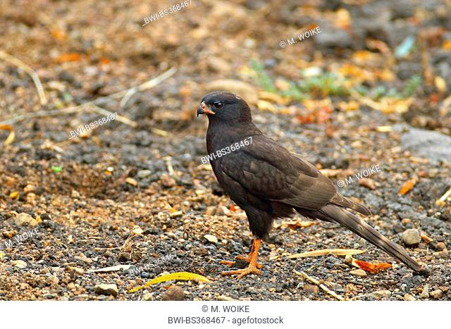 Gabar goshawk (Micronisus gabar), melanistic bird sitting on the ground, South Africa, North West Province, Pilanesberg National Park