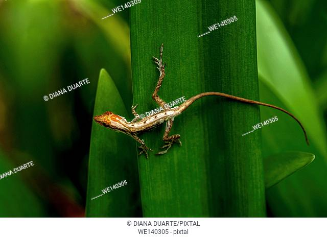 'Anolis ( Anolis )'. When it comes to reproduction for the Lizard it often depends on their location and the specific species. Talamanca, Costa Rica
