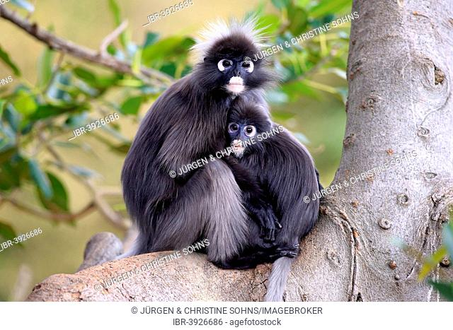 Dusky Leaf Monkeys or Spectacled Langurs (Trachypithecus obscurus), female with young on a tree, native to Asia, Singapore