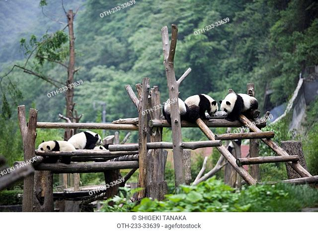 Giant pandas, Wolong, Wenchuan, Sichuan, China