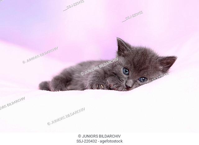 European Shorthair. Gray kitten (4 weeks old) lying on a pink blanket. Germany. Studio picture against a pink background