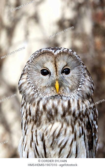 France, Loiret, Sologne, Ligny le Ribault, Ural Owl (Strix uralensis), close up
