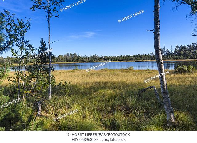 Raised bog of the Wildsee at Kaltenbronn, Northern Black Forest, Germany, with birch trees and small pines, territory Bad Wildbad and Gernsbach