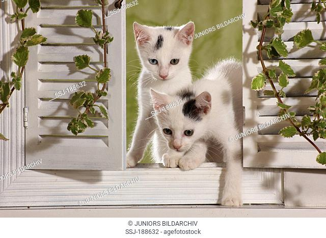 Two kittens in a window with white shutters. Spain