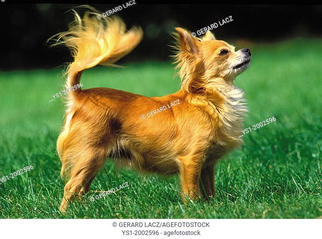 Chihuahua Dog standing on Grass