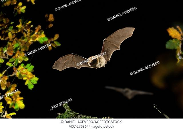 Common Pipistrellus (Pipistrellus pipistrellus) on flight, Northern Spain, Europe