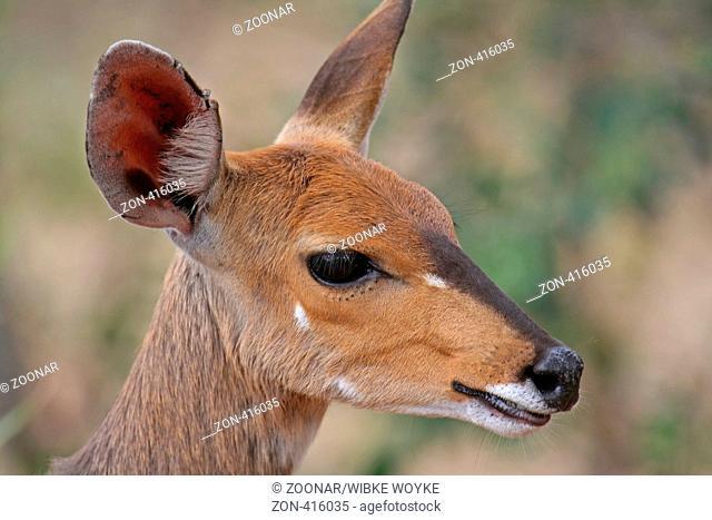 Impala, South Africa, wildlife