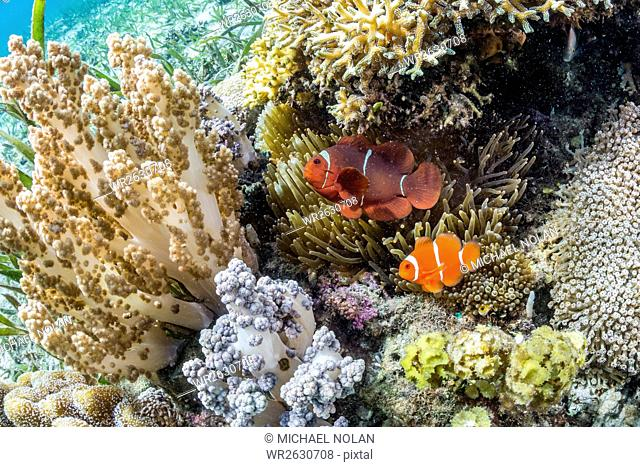 Adult spinecheek anemonefish (Premnas biaculeatus), Sebayur Island, Komodo National Park, Flores Sea, Indonesia, Southeast Asia, Asia