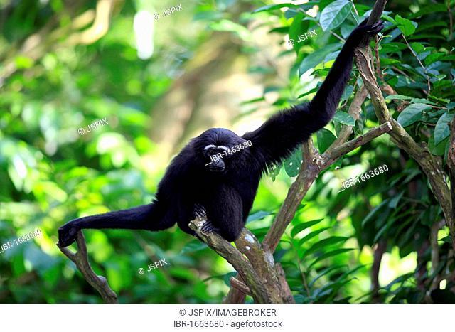 Agile or Black-handed Gibbon (Hylobates agilis), adult, sitting on a tree, Asia