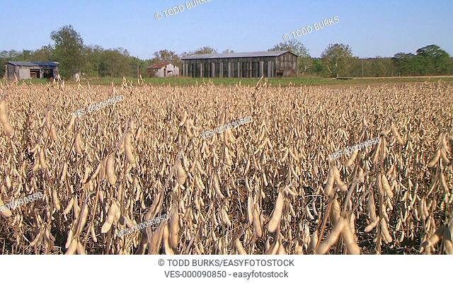 Farmer combining soybean crop