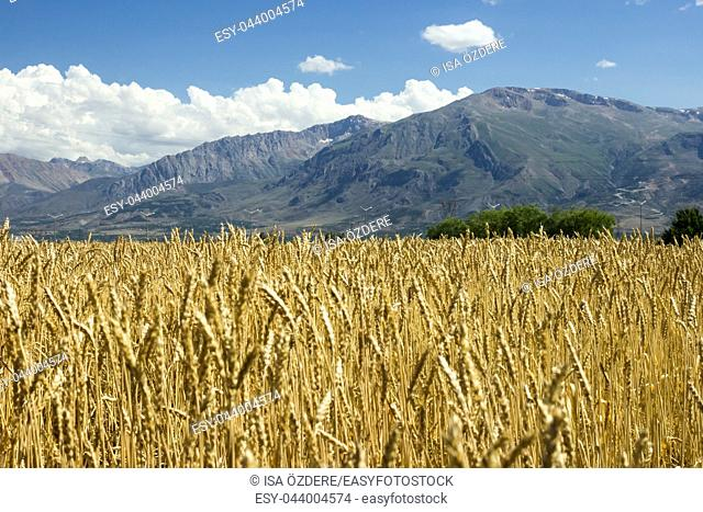 Gold ripe wheat field with sky and clouds on a sunny day in summer