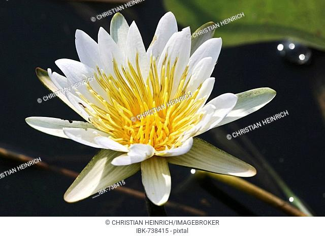 Waterlily (Nymphaea), Cuando River, Caprivi Strip, Namibia, Africa
