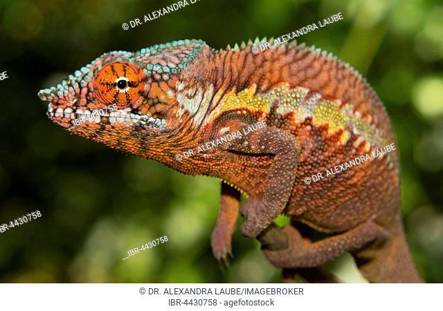 Panther chameleon (Furcifer pardalis), male, juvenile on branch, Ankaramibe region, Mahajanga, northwestern Madagascar, Madagascar