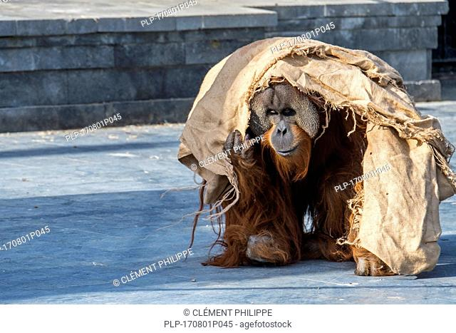 Sumatran orangutan / orang-utang (Pongo abelii) male walking around wrapped in cloth in zoo, native to Indonesian island of Sumatra