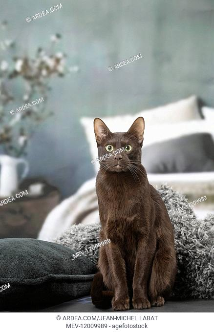 Havana Brown cat indoors