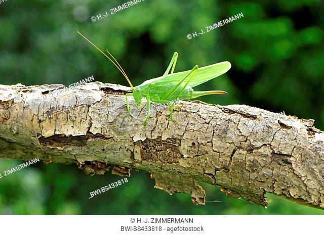 Great Green Bush-Cricket, Green Bush-Cricket (Tettigonia viridissima), sits on a branch, Germany, Rhineland-Palatinate