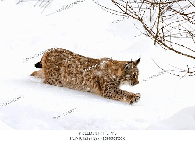 Juvenile one year old Eurasian lynx (Lynx lynx) stalking prey with outstretched claws during snow shower in winter