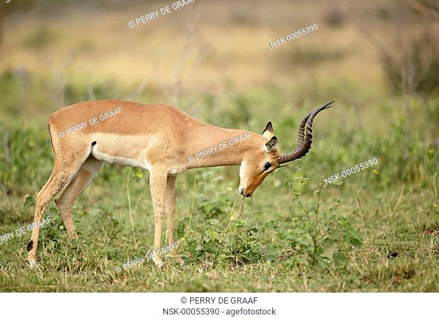 Impala (Aepyceros melampus) male, rubbing forehead on vegetation for scent marking, South Africa, Mpumalanga, Kruger National Park
