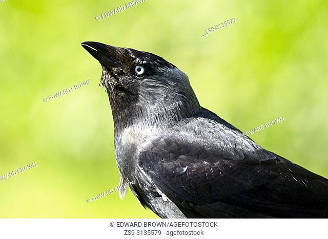 Jackdaw (Corvus monedula), East Sussex, UK
