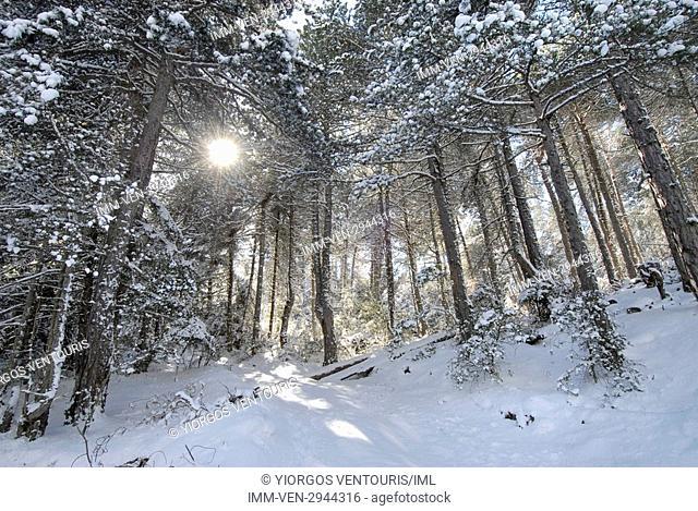 The snow covered forest surrounding Doxa Lake. Doxa Laka, Feneo, Corinthia, Peloponnese, Greece