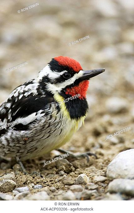 A male yellow-bellied sapsucker Sphyrapicus varius sits on a gravel road on Barrie Island, Manitoulin Island, Ontario, Canada