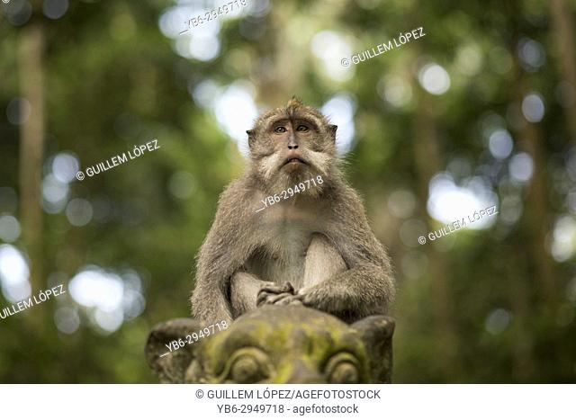 Long-tailed macaque, Sangeh Monkey Forest, Ubud, Bali, Indonesia