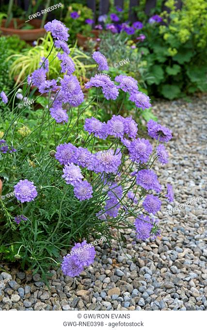 Skabiose giapponese Blue Note-Scabiosa japonica