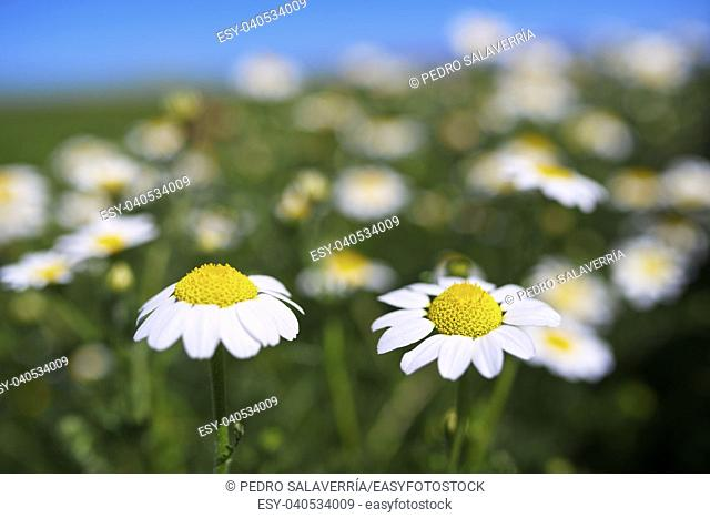forefront of a field of daisies on a sunny day