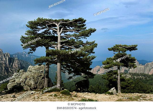 European black pine, Austrian pine, Black Pine, Corsican Pine (Pinus nigra), at Col de Bavella, France, Corsica, Bavella Pass