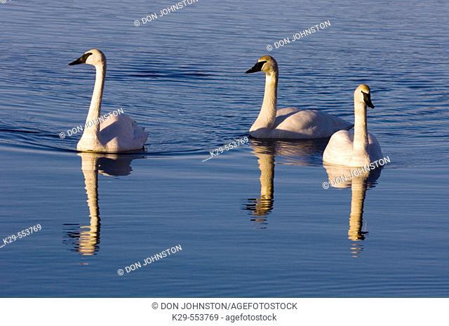 Trumpeter Swan (Cygnus buccinator) Overwintering adults swimming in open water. Sudbury, Ontario