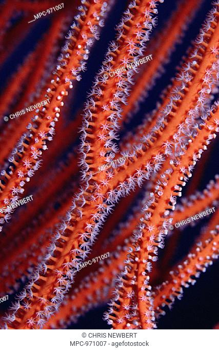 SEA WHIP CORAL, (Ellisella sp.), DETAIL, CORAL SEA