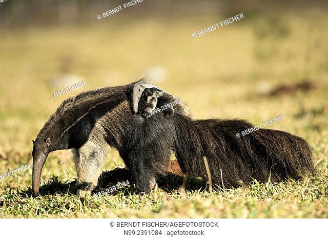 Giant anteater (Myrmecophaga tridactyla), female with cub on its back, walking in farmland, Mato Grosso do Sul, Brazil