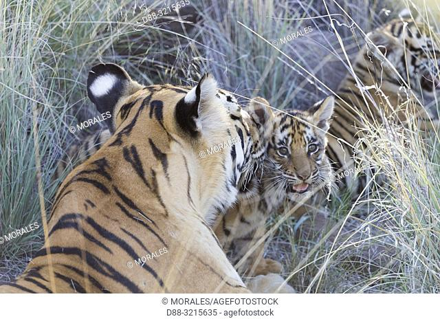 South Africa, Private reserve, Asian (Bengal) Tiger (Panthera tigris tigris), Youngs 3 months old, resting