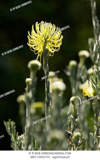 Yellow Rocket Pincushion. Cape area, South Africa. (Leucospermum reflexum var. luteu)