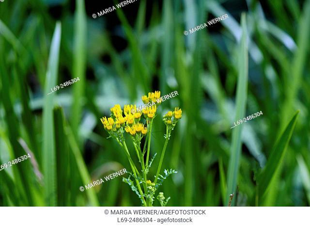 Ragwort, Senecio jacobaea L. , buds of poisonous wildflower in North Germany, Europe